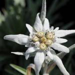 Edelweiss, la flor de los alpes