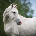 El caballo Lipizzano, el caballo de los Habsburgo